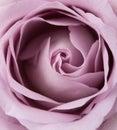 Purple, mauve color fresh summer rose macro shot, natural abstra Royalty Free Stock Photo