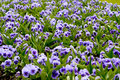 Purple and mauve pansies a bed of Royalty Free Stock Photography