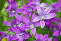 Purple meadow campanula bell flowers Royalty Free Stock Photos