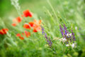 Purple meadow flower wild meadow flower in a near poppy Stock Photos