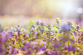 Purple meadow flowers in early spring Stock Photography