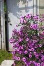Purple Michaelmas Daisy