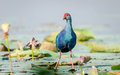 Purple moorhen water hen swamphen or in india Stock Photography