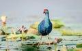 Purple moorhen water hen swamphen or in india Stock Photography