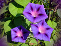 Purple morning glory photo violet flowers garden bindweed on background of green leaves Royalty Free Stock Photography