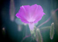 Purple Morning Glory Soft Focus Filter Royalty Free Stock Photo