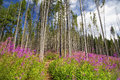 Purple mountain flowers landscape with path and beech trees fore Royalty Free Stock Photo
