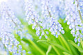 Purple muscari flower closeup image of a blooming hyacinthus orientalis also known as Royalty Free Stock Photography