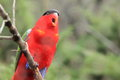 Purple naped lory with the open beak Royalty Free Stock Photos