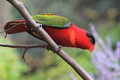 Purple naped lory the sitting on the branch Stock Photos