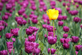 Purple and one yellow tulip flower Royalty Free Stock Photo