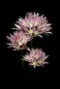 Purple onion flower on black background Stock Photos