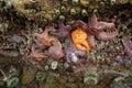 Purple and orange starfish