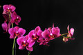 Purple orchid on black background Stock Images