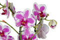Purple orchid flower Stock Photography