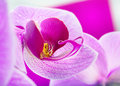Purple orchid flower closeup isolated white Stock Photo