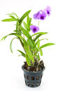 Purple orchid flower in flowerpot Stock Photos