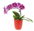 Purple orchid flower in pot isolated on white Royalty Free Stock Image