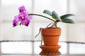 Purple orchid in a flower pot on a table in a sunroom Royalty Free Stock Photos