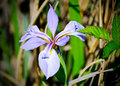 Purple Orchid Flower, Savannah...