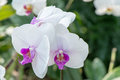 Purple orchid flowering bush close up Stock Images