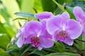 Purple orchid flowering bush close up Royalty Free Stock Photos