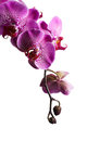 Purple orchid flowers isolated on white background Royalty Free Stock Photos