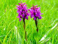 Purple orchid flowers meadow with early flowering in early summer Stock Photo