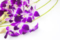 Purple orchid flowers on a white background Stock Images