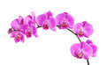 Purple orchid fresh flower isolated on white background Royalty Free Stock Photo