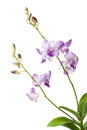 Purple Orchid isolated on white background Royalty Free Stock Photo
