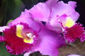 Purple orchid with large sepal in full bloom Stock Photo