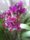 stock image of  Purple orchid
