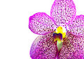 Purple orchid on white background Royalty Free Stock Image
