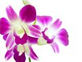 Purple orchid on white background Stock Photography