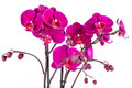 Purple orchids closeup of over white background Stock Photo