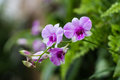 Purple orchids photo form thai Stock Photography