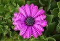 Purple osteospermum daisy flower in a garden Royalty Free Stock Images