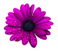 Purple osteospermum daisy flower isolated over white background Royalty Free Stock Photo