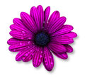 Purple osteospermum daisy flower  over white background Royalty Free Stock Photo