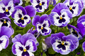 Purple pansies bright on a flower bed Royalty Free Stock Photos