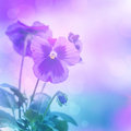 Purple pansies flowers beautiful isolated on blue blurred background floral border gentle heartsease blooming nature summer time Royalty Free Stock Image