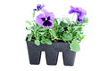 Purple pansies potted isolated over a white background with clipping path Stock Photos