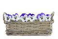 Purple pansies in a reed basket isolated on white Stock Image