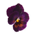 Purple pansy with dew drops Royalty Free Stock Photo