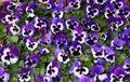Purple Pansy Flowers