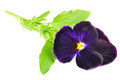 Purple Pansy Violet Flower Stock Photo