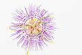 Purple passion flower close up aka maypop native to north carolina highkey photograph with white background Royalty Free Stock Photo
