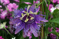 Purple Passion Flower Royalty Free Stock Photo