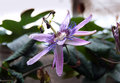Purple Passionflower. Family Passifloraceae Royalty Free Stock Photo
